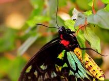 Макрос бабочки Birdwing пирамид из камней Стоковая Фотография RF