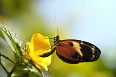 Макрос бабочки Longwing тигра на желтом цветке Стоковое фото RF