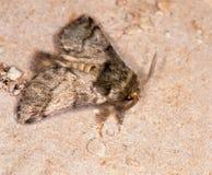 Макрос бабочки: Pudibunda Calliteara стоковое фото
