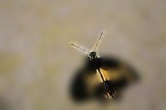 Макрос бабочки Swallowtail Стоковое Изображение