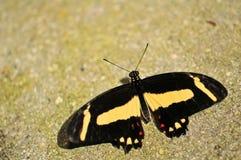 Макрос бабочки Swallowtail Стоковая Фотография