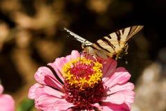 Макрос бабочки Swallowtail Papilionidae на elegans zinnia цветет против запачканной естественной предпосылки на яркий летний день Стоковая Фотография