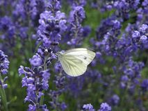 Макрос белой бабочки углерода стоковая фотография rf