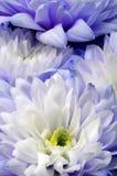 Макрос белой и голубой астры цветка Стоковое фото RF