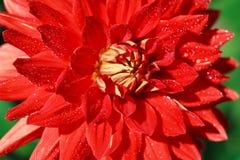 Макрос белого красного георгина Стоковое Фото