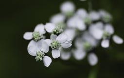 Макрос белого цветка Стоковое Изображение