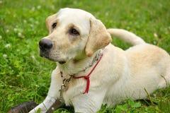 Макрос белого labrador и зеленой травы Стоковые Изображения