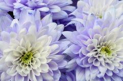Макрос белой и голубой астры цветка Стоковое Изображение