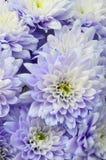 Макрос белой и голубой астры цветка Стоковые Изображения