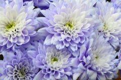 Макрос белой и голубой астры цветка Стоковая Фотография