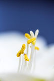 Макрос белой лилии Стоковые Фотографии RF