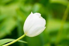 Макрос белых лепестков тюльпана Стоковое Изображение