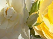 Макрос белых и желтых роз Стоковые Изображения