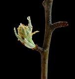 Макрос более fruitier бутона цветения стоковые фотографии rf