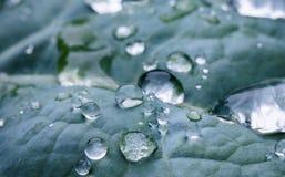 Макрос близкий вверх чисто дождя падает на лист голубого зеленого цвета с текстурой venation Стоковая Фотография RF