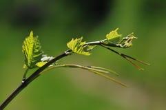 Макрос виноградного вина стоковое фото