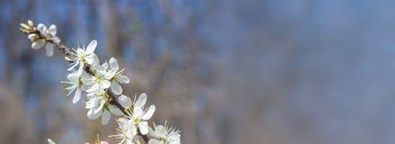 Макрос вишневого дерева Стоковые Изображения RF