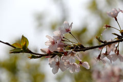 Макрос вишневого цвета стоковое изображение