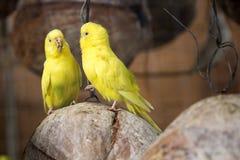 Макрос волнистого попугайчика пар Стоковое фото RF