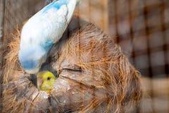 Макрос волнистого попугайчика пар Стоковое Изображение RF