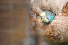 Макрос волнистого попугайчика Стоковое Изображение RF