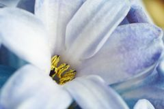 макрос гиацинта цветка Стоковые Изображения