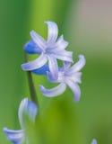 Макрос головы цветка весны Стоковое Изображение