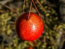 Макрос гранатового дерева Стоковая Фотография RF