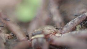 Макрос группы в составе муравьи атакуя и есть паук гигантского краба акции видеоматериалы