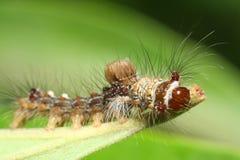 макрос гусеницы Стоковые Изображения RF