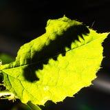 Макрос гусениц hyparete Painted Jezebel Delias на задней стороне их лист растение-хозяин в природе, черве бабочки стоковые фотографии rf