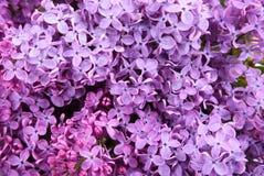 Макрос дня цветков сирени пурпурного весной стоковое изображение rf