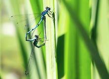 Макрос дракона 2 летает на лист Стоковые Изображения