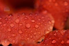 Макрос лепестка розы Стоковые Изображения