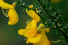 Макрос желтых pistils цветка genista стоковое изображение rf