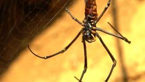 Макрос женского гигантского паука древесин в горе дома Тайбэя акции видеоматериалы