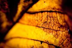 Макрос желтого цвета силуэта листьев осени Стоковая Фотография RF