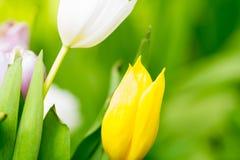 Макрос желтых белых и розовых лепестков цветков Стоковые Фото