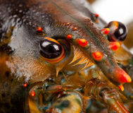 Макрос живущего омара Стоковые Изображения RF