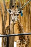 Макрос жирафа Брайна в зоопарке Стоковые Изображения