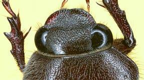 макрос жука коричневый весьма Стоковые Изображения RF