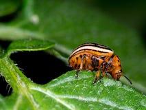 Макрос жука Колорадо, есть лист картошки Decemlin Leptinotarsa Стоковая Фотография RF