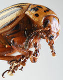 Макрос жука Колорадо Стоковое Изображение RF