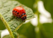 Макрос жука Колорадо Стоковые Изображения RF