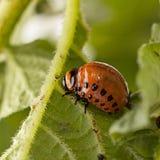 Макрос жука Колорадо Стоковые Фото