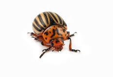Макрос жука Стоковые Изображения RF