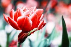 Макрос зацветая красного тюльпана против предпосылки голубые облака field wispy неба природы зеленого цвета травы белое Стоковые Фотографии RF