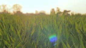 макрос зеленого цвета травы