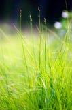 макрос зеленого цвета травы Стоковая Фотография RF