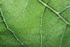 Макрос зеленых листьев Стоковые Изображения
